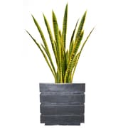 "Laura Ashley 41"" Tall Snake Plant in Planter (VHX121204)"
