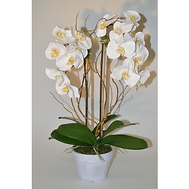 The French Bee Phalaenopsis w/ Curly Willow