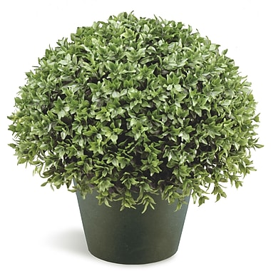 National Tree Co. Japanese Holly Globe Bush Desk Top Plant in Pot