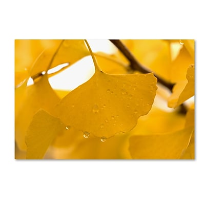 Trademark Fine Art ''Ginkgo Drops'' by Philippe Sainte-Laudy 22