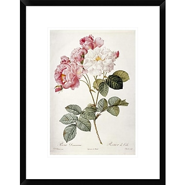 Global Gallery Damask Rose by Pierre Joseph Redoute Framed Painting Print; 22'' H x 17'' W x 1.5'' D