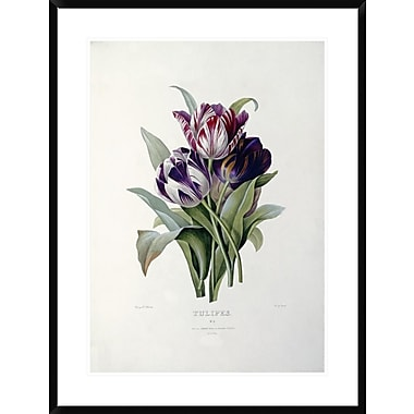 Global Gallery Tulips by Pierre Joseph Redoute Framed Painting Print; 36'' H x 27.2'' W x 1.5'' D