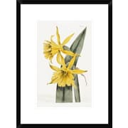 Global Gallery Narcissi by William Curtis Framed Painting Print by