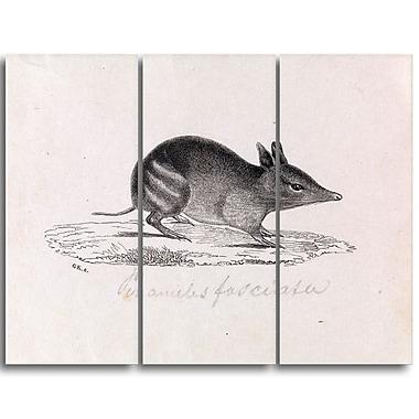 Designart Gerard Krefft, Western barred Bandicoot Canvas Art Print, (PT4433-3P)
