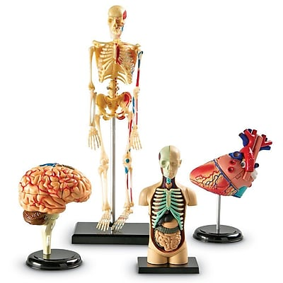Anatomy Models Bundle, Set of 4