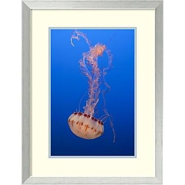 Amanti Art ? Impression « Méduse, Aquarium Monterey Bay » par Suzi Eszterhas, 20 x 26 po, cadre en acier inoxydable (DSW1418835)
