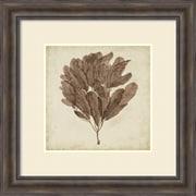 """Georg C. Oeder 'Vintage Seaweed III' Framed Art Print 30"""" x 30"""" (DSW1421169)"""