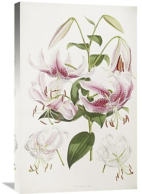 Global Gallery 'A Monograph of the Genus Lilium' by Henry John Elwes Graphic Art on Wrapped Canvas
