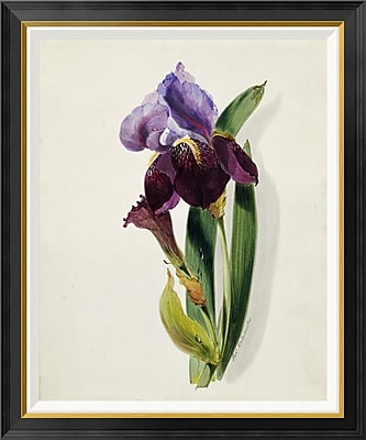 Global Gallery 'A Flag Iris' by Thomas Holland Framed Painting Print; 22'' H x 18.76'' W x 1.5'' D
