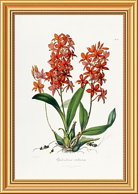 Global Gallery 'Star Orchid' by John Lindley Framed Painting Print; 26'' H x 18.56'' W x 1.5'' D