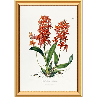 Global Gallery 'Star Orchid' by John Lindley Framed Painting Print; 34'' H x 23.86'' W x 1.5'' D