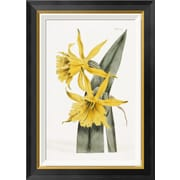 Global Gallery 'Narcissi' by William Curtis Framed Graphic Art; 28 inch H x 19.94 inch W x 1.5 inch D by