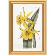 Global Gallery 'Narcissi' by William Curtis Framed Graphic Art; 26 inch H x 17.94 inch W x 1.5 inch D by