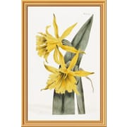 Global Gallery 'Narcissi' by William Curtis Framed Graphic Art; 40 inch H x 26.8 inch W x 1.5 inch D by