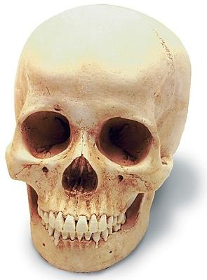 Human Female Skull Replica (0201)