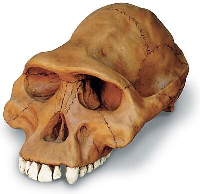 Australopithecus Afarensis Cranium Replica (0245)