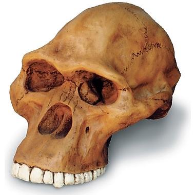 Australopithecus Africanus Cranium Replica (0246)
