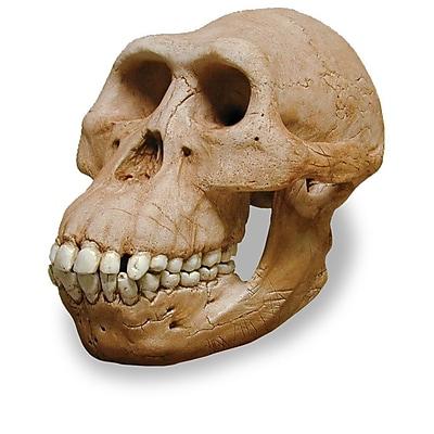 Australopithecus Afarensis Skull Replica (0265)