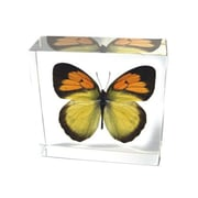 Ed Speldy East  Real Bug Butterfly-Butterfly-Yellow Orange Tip (ESE261)