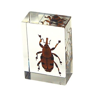 Ed Speldy East Real Bug Paperweight Regular-Small-Bamboo weevil (ESE288)