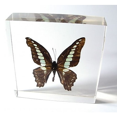 Ed Speldy East Butterfly Paperweight - Common BlueBottle (ESE354)