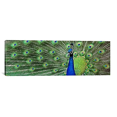 iCanvas Color Bakery Peacock (Panoramic) Photographic Print on Canvas; 12'' H x 36'' W x 1.5'' D