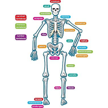 Teacher Created Resources, Human Skeleton Magnetic Accents, 40 Total Pieces (TCR77241)