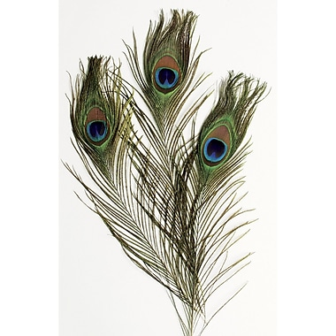 Pacon Peacock Feathers Ages 5+, 12 Feathers Per Pack (PACAC4521)
