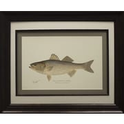 Star Creations ''Striped Bass'' Framed Graphic Art Print on Paper