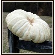 Craft-Tex Jumbo Jarrahdale Pumpkin