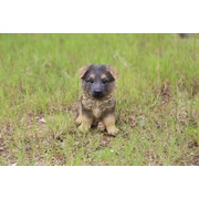 Hi-Line Gift Pet Pals, German Shepherd Puppy
