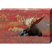 'Denali National Park Bull Moose' by Jamie & Judy Wild Photographic Print on Wrapped Canvas