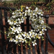 Flora Decor 22'' Blooming Dogwood Wreath