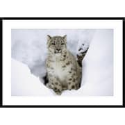 Snow Leopard Adult Portrait in Snow, Native to Asia by Tim Fitzharris Framed Photographic Print