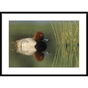 Redhead Duck, Portrait, Moses Lake, Washington by Tim Fitzharris Framed Photographic Print