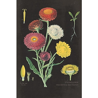 August Grove Strawflower Chart Painting Print on Wrapped Canvas; 12'' H x 8'' W x 0.75'' D