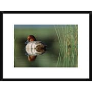 Global Gallery 'Redhead Duck Male w/ Reflection Near Reeds, Washington' Framed Photographic Print