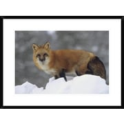 Global Gallery 'Red Fox Standing at the Top of A Snow Bank, Montana' Framed Photographic Print