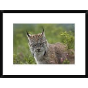 Global Gallery 'Canada Lynx Portrait, North America' Framed Photographic Print