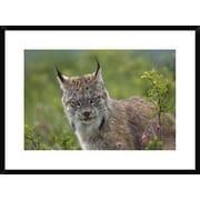 Global Gallery 'Canada Lynx Portrait, North America' Framed Photographic Print