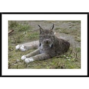 'Canada Lynx Reclining Showng Typically Large Feet, Haines, Alaska' Framed Photographic Print