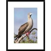 Global Gallery 'Red-Footed Booby' Framed Photographic Print; 24'' H x 18'' W x 1.5'' D