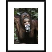 Global Gallery 'Orangutan w/ Tourists Camera, Malaysia, Saba, Borneo' Framed Photographic Print