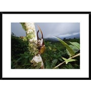 'Hercules Scarab Beetle on Tree Trunk, Fortuna National Park, Panama' Framed Photographic Print