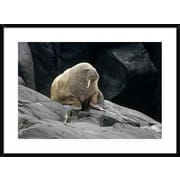 'Atlantic Walrus Bull on Rocky Shore, Marble Island, Hudson Bay, Canada' Framed Photographic Print