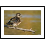 Global Gallery 'Wood Duck Female, North Chagrin Reservation, Ohio' Framed Photographic Print