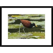 Global Gallery 'Northern Jacana Foraging on Lily Pads, Costa Rica' Framed Photographic Print