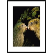 Global Gallery 'Kakapo Pair Playing, Codfish Island, New Zealand' Framed Photographic Print