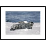 'Weddell Seal Pup, Half Moon Island, South Shetland Islands, Antarctica' Framed Photographic Print