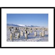 'Emperor Penguin Rookery, Princess Martha Coast, Weddell Sea, Antarctica' Framed Photographic Print